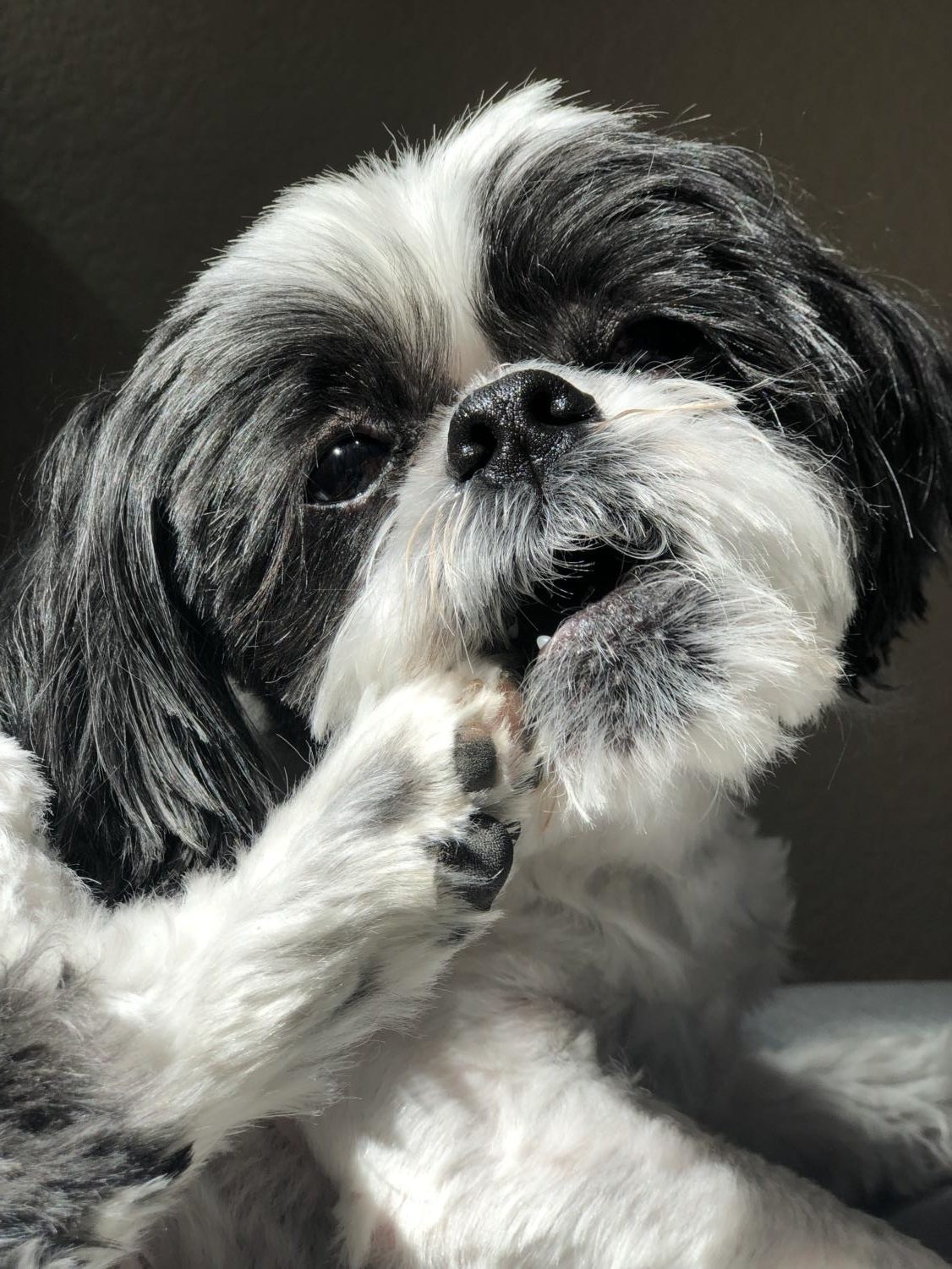 Junior Rosa Lee's seven year-old dog, Bo, bites his paw while posing during a photoshoot. Lee created an Instagram account dedicated to Bo as a way to become famous when she was in sixth grade.