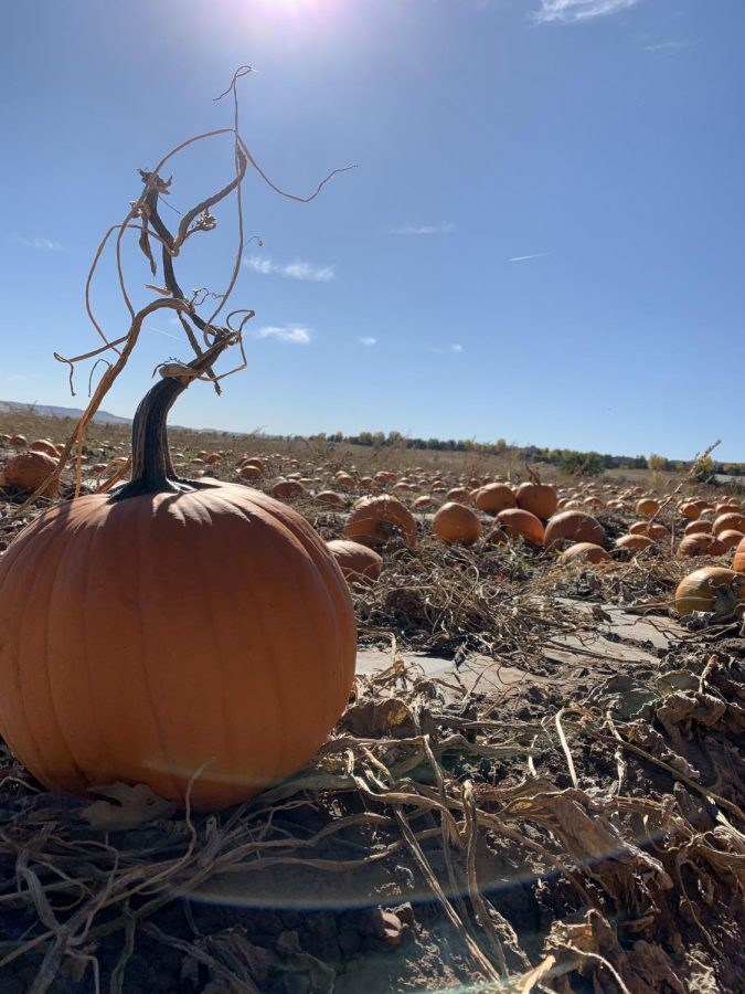 A pumpkin at the Denver Botanical Gardens Pumpkin Patch Oct. 13.